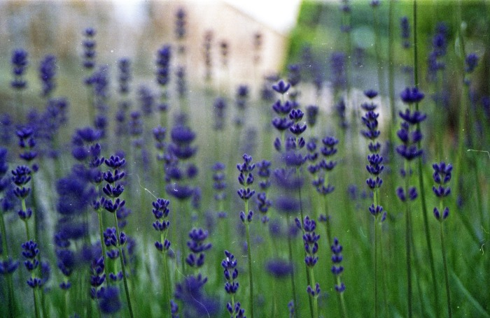 lavender-1279643_1920
