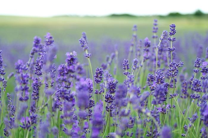 lavender-field-1031258_1920