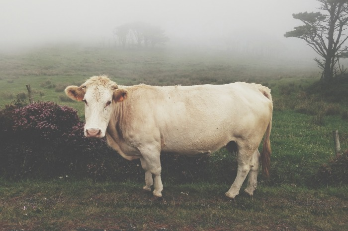 cow-1149204_1920