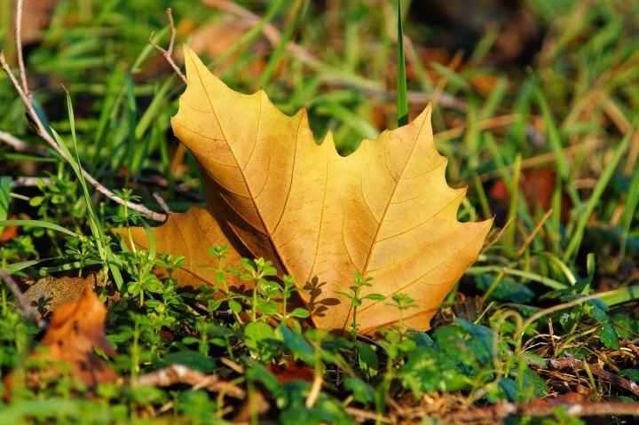 maple-leaf-567986_1920