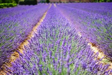lavender-flowers-1595487_1280
